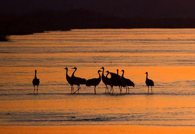 Nebraska cranes 2012
