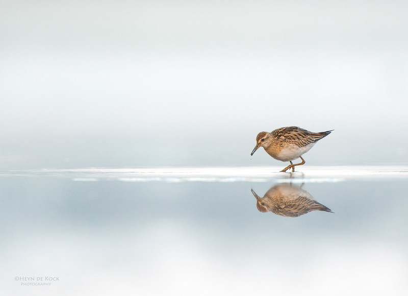 Sharp-tailed Sandpiper, Pitt Town Lagoon, NSW, Aus, Oct 2013-3.jpg