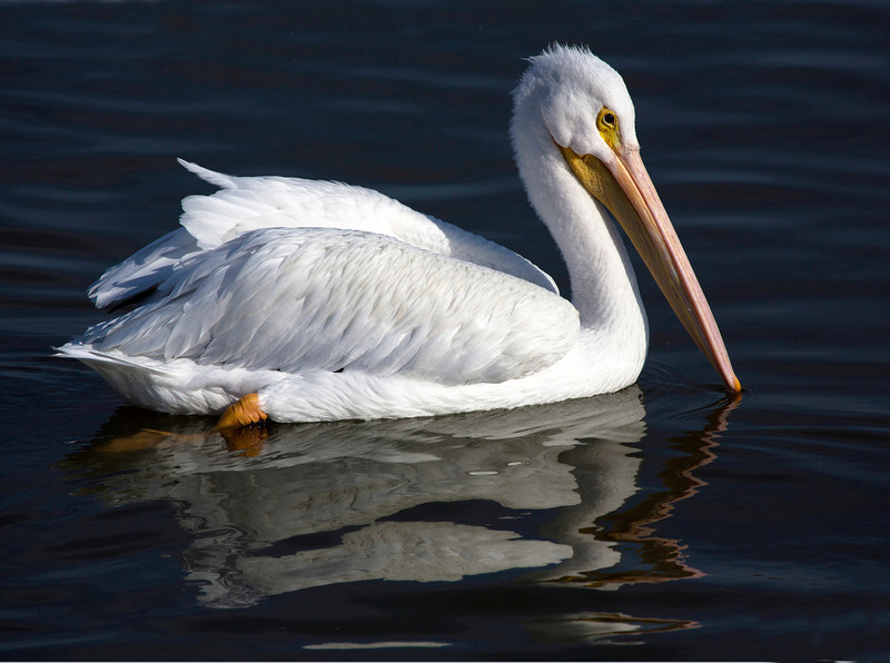 A lovely lone White Pelican.