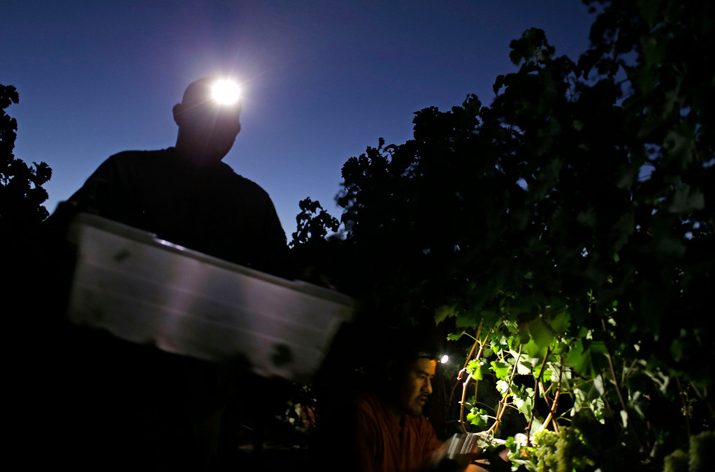 . Workers harvest Sauvignon Blanc grapes by headlamp at Ehlers Estate winery Wednesday morning, Aug. 28, 2013 in St. Helena, Calif. The harvest is underway in the Napa Valley with the picking of grapes for white and sparkling wine. (AP Photo/Eric Risberg)
