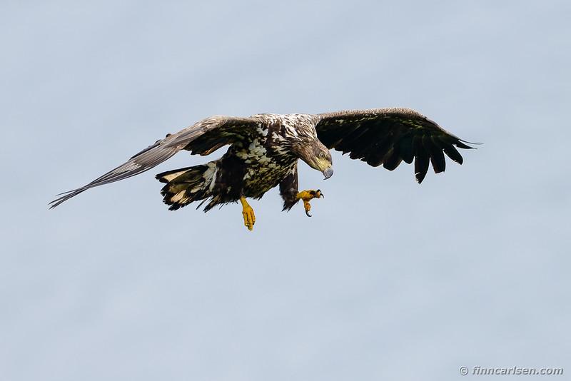 Havørn (Haliaeetus albicilla - White-tailed eagle)
