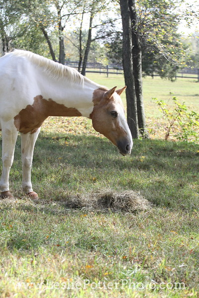 Pinto Horse Eating Hay in Pasture