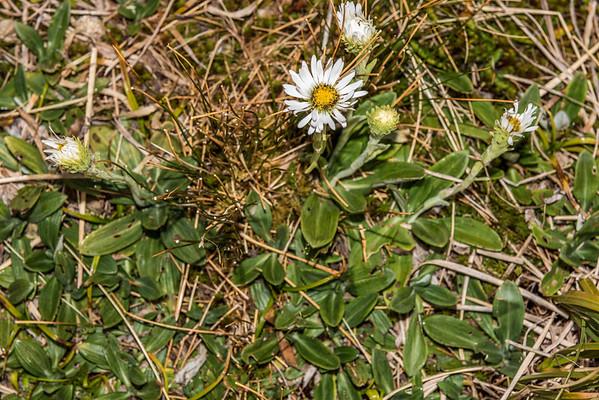 Haast's mountain daisy - Celmisia haastii