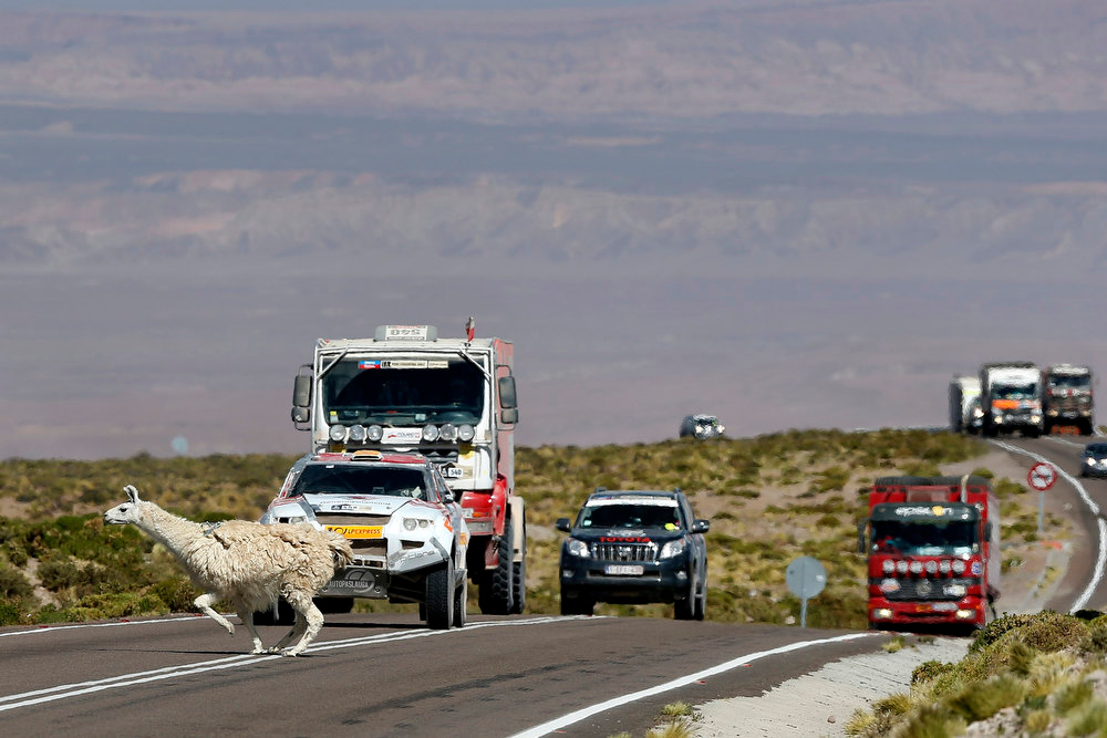Description of . An alpaca crosses the road as drivers wait in their vehicles on the highlands of Chile en route to the Jama border crossing during the untimed 7th stage of the 2013 Dakar Rally from Calama to Salta, January 11, 2013. REUTERS/Ivan Alvarado