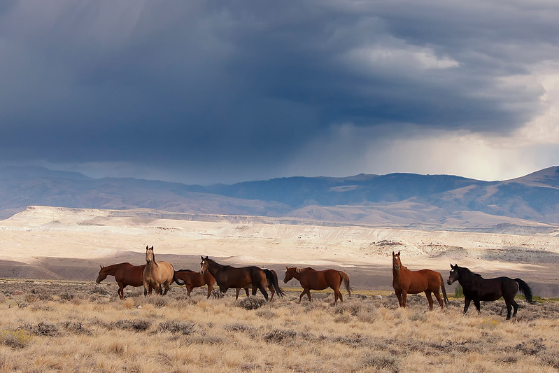 Wild horses with approaching storm 8x12.jpg