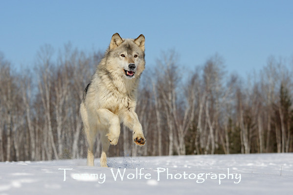 Wolves and Coyotes