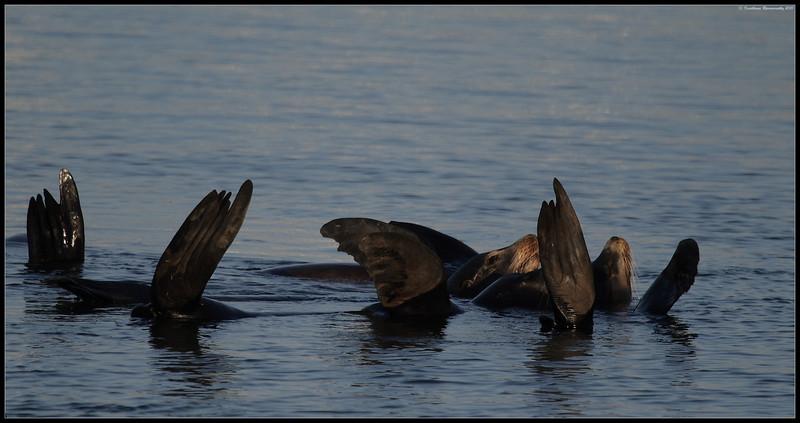 California Sea lions, Oceanside Pelagic Trip, San Diego County, California, January 2010