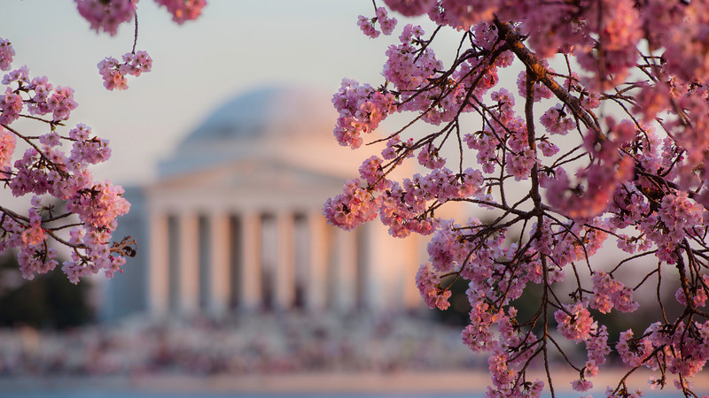 Cherry  Blossom Jefferson Memorial Festival Thomas Washington DC.jpg