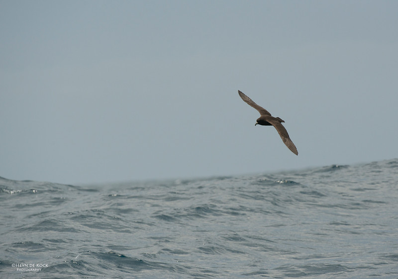 Black Petrel, Wollongong Pelagic, Nov 2013-3.jpg