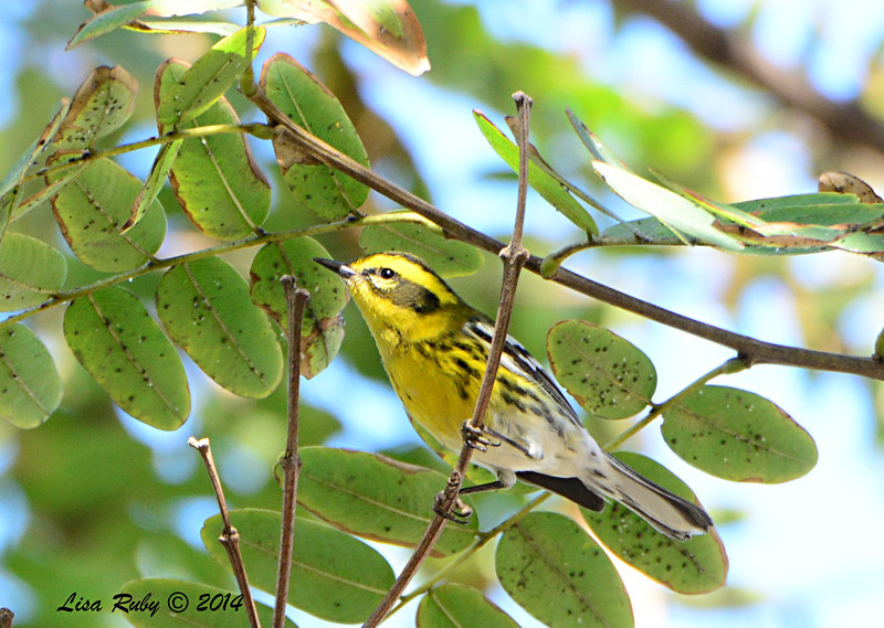 Townsend's Warbler - 1/3/14 - Park Blvd, Balboa Park