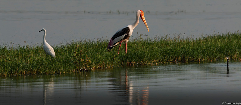 Color in the mix - Painted Stork, Egret and ?? Spot it