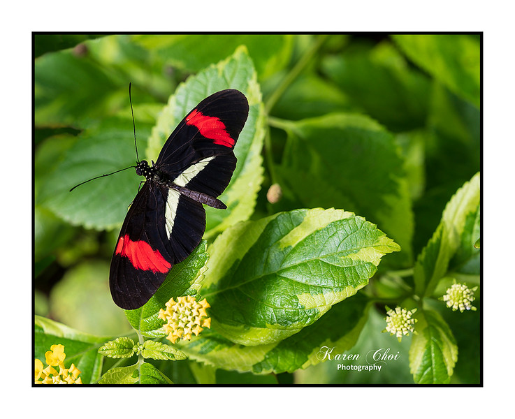 sm Black Butterfly with red stripes.jpg