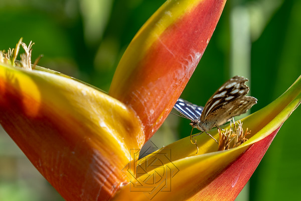 COSTA RICA BIRDS and BUTTERFLYS
