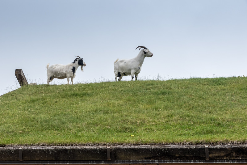 two goats on a green-covered rooftop