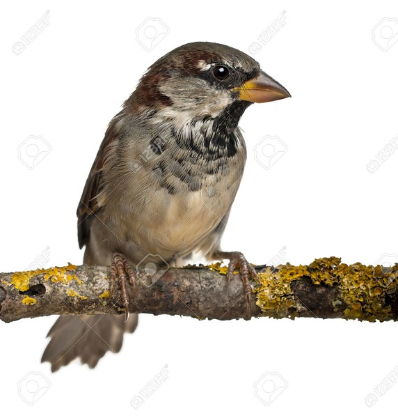 12039098-Male-House-Sparrow-Passer-domesticus-4-months-old-in-front-of-white-background-Stock-Photo.jpg