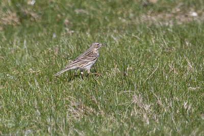 Meadow Pipit - Engpiber