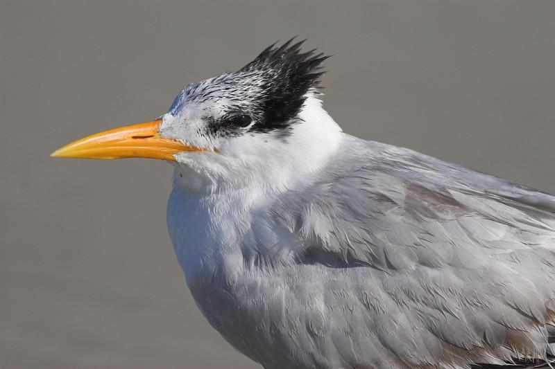 Royal Tern portrait (near Ponce Inlet)