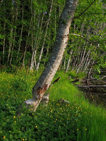 A beaver chewed alder hangs on near Fish Pond. June 21, 2011.