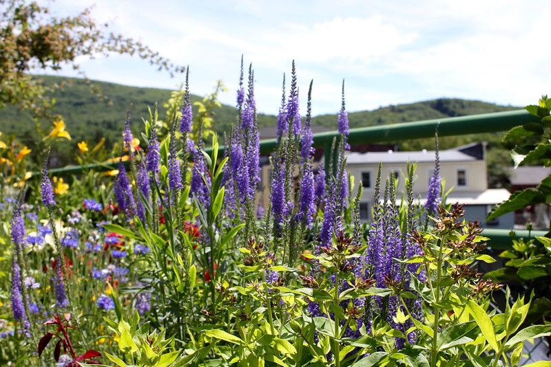 purple flowers on the Bridge of Flowers in Shelburne Falls, Massachusetts