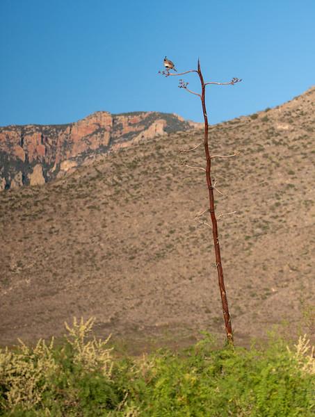 Gambel's Quail singing Foothills Road Chihuahuan Desert Chiricahua Mountains near Portal southeast Arizona June 6-12 2019-00788.jpg