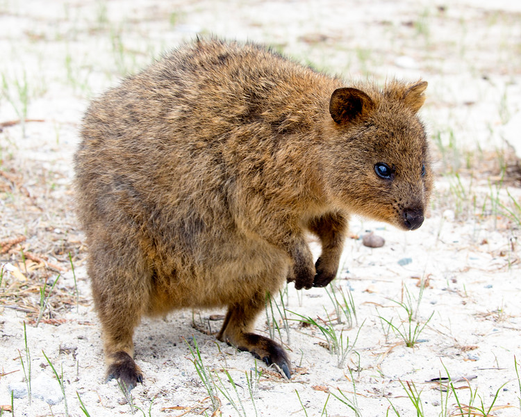 Another Quokka comes by to study us.