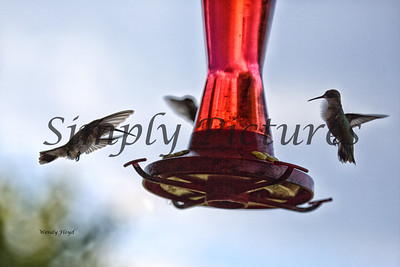 Hummers  (13)