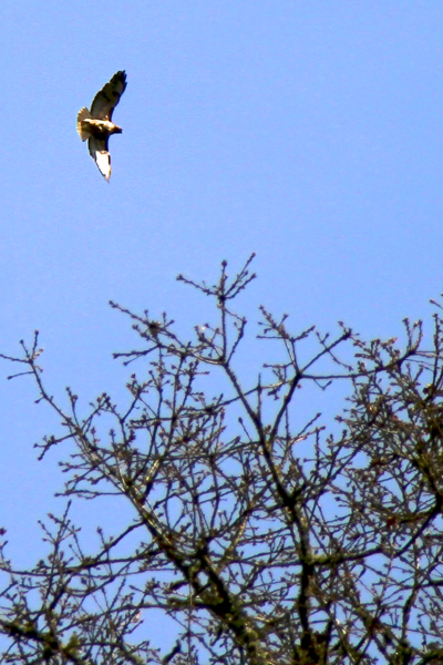APRIL 1, 2012 MY REDTAILED  HAWKS IN COURTSHIP ABOVE MY HOUSE This pair returns every year
