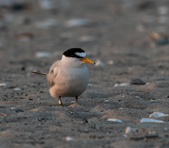 Least Tern banded