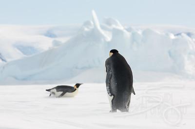 Penguin crossing.