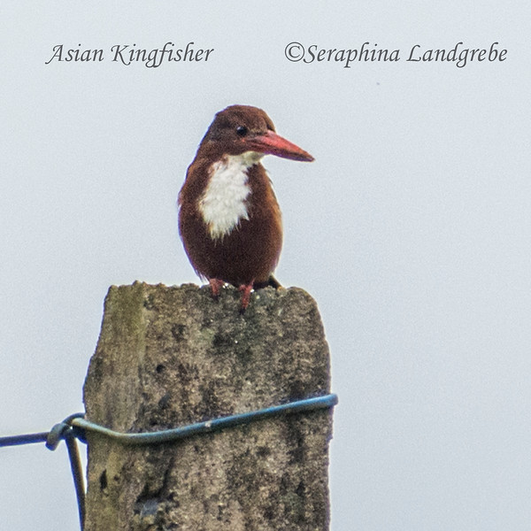 _DSC8443Kingfisher.jpg