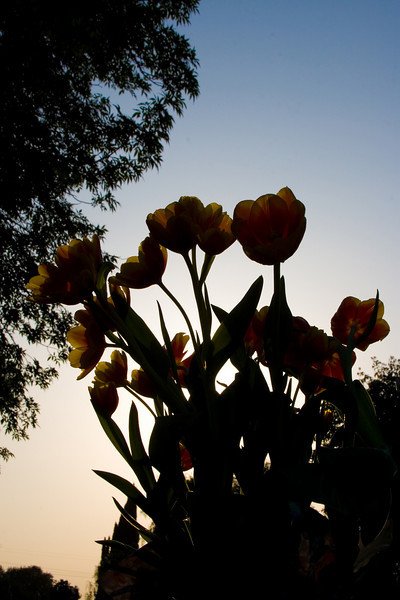 Tulips outdoor_30.jpg