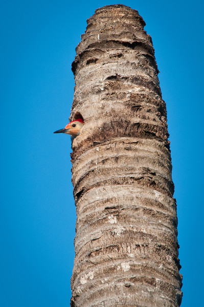 Red bellied woodpeckers nesting in a dead palm. This tree became the roost for many birds throughout the week.
