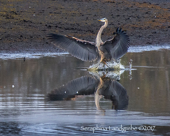 _DSC9274Great Blue Landed.jpg