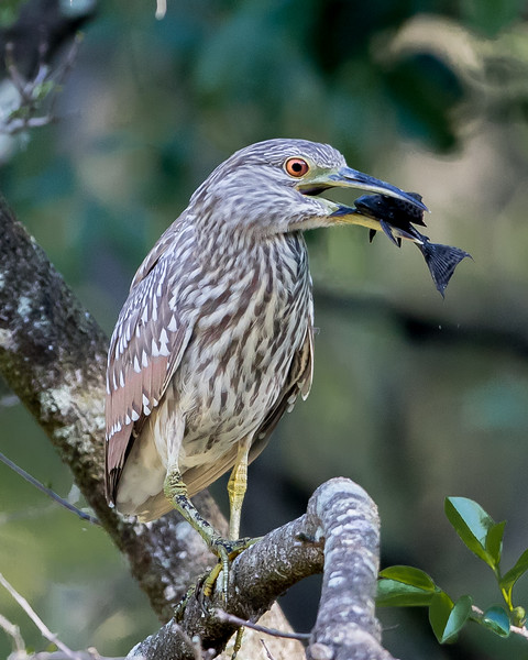 Black Crowned Night Heron Prey-7032.jpg