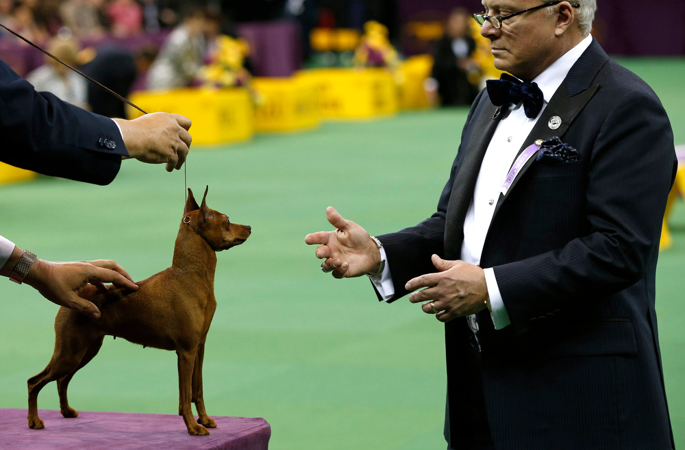 Description of . A Miniature Pinscher is judged during competition in the Toy Group at the 137th Westminster Kennel Club Dog Show at Madison Square Garden in New York, February 11, 2013.  REUTERS/Mike Segar