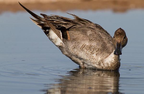 Ducks, Geese, Swans