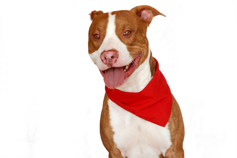 Half Back - A267408 - 2 year old male, red brindle & white pit bull terrier