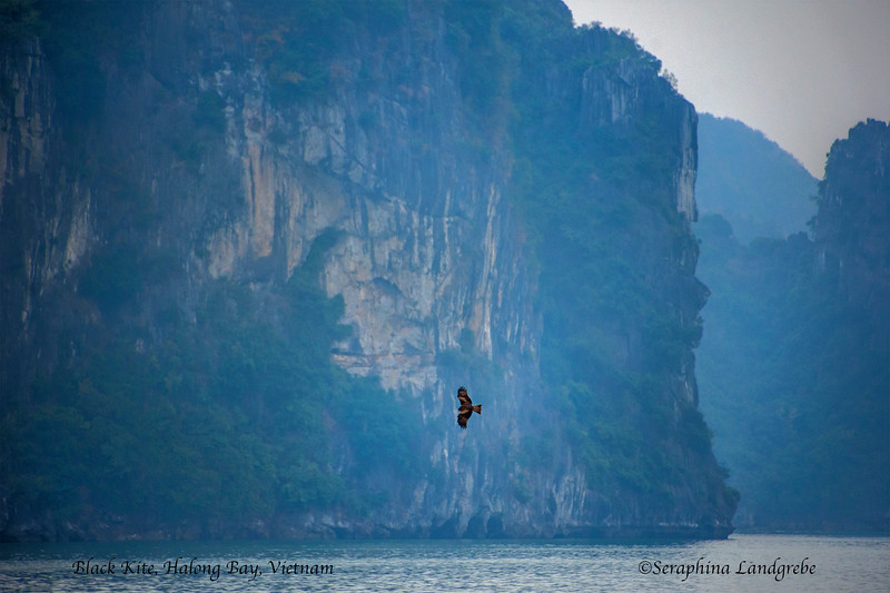 _DSC0176Black Kite, Halong Bay.jpg