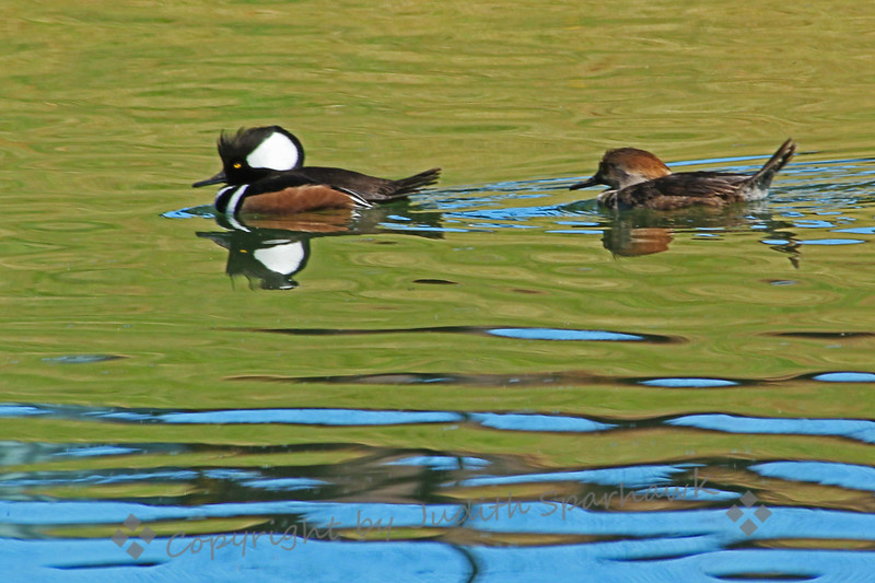 Mr. & Mrs. Merganser ~ This pair of Hooded Mergansers was actively swimming and diving in the pond in a local park.