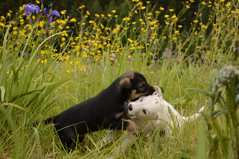 Puppies in Flowers.jpg