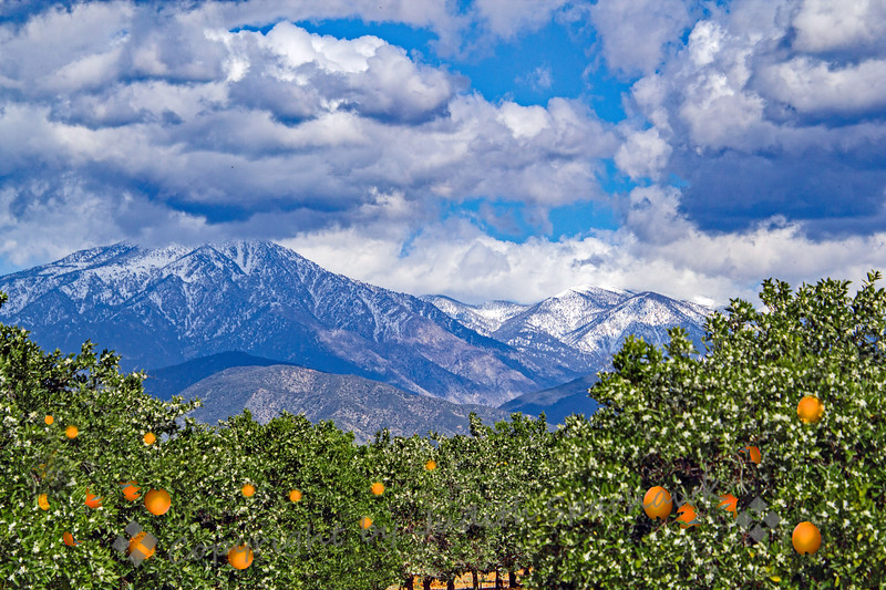Orange Blossom Time in Redlands