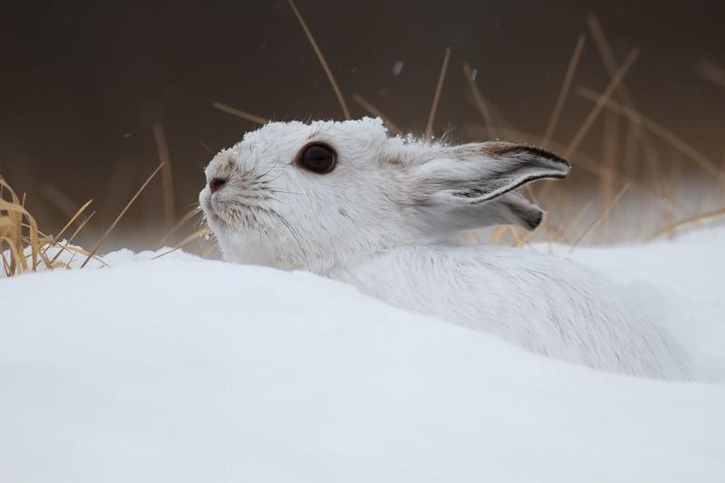 Snowshoe Hare Lepus americanus CR52-Arkola Sax-Zim Bog MN Snowshoe Hare Sax-Zim Bog MN IMG_0002188.jpg