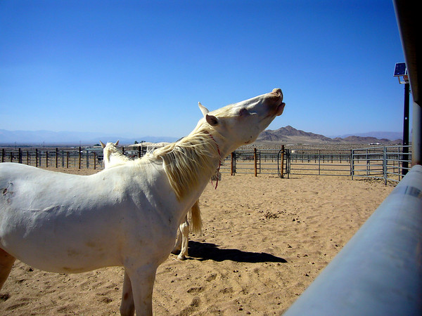 Ridgecrest Wild Horses and Burros