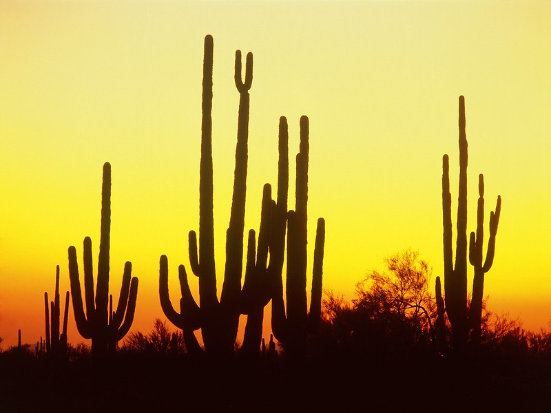 Saguaro Cactus at Sunset, Arizona.jpg