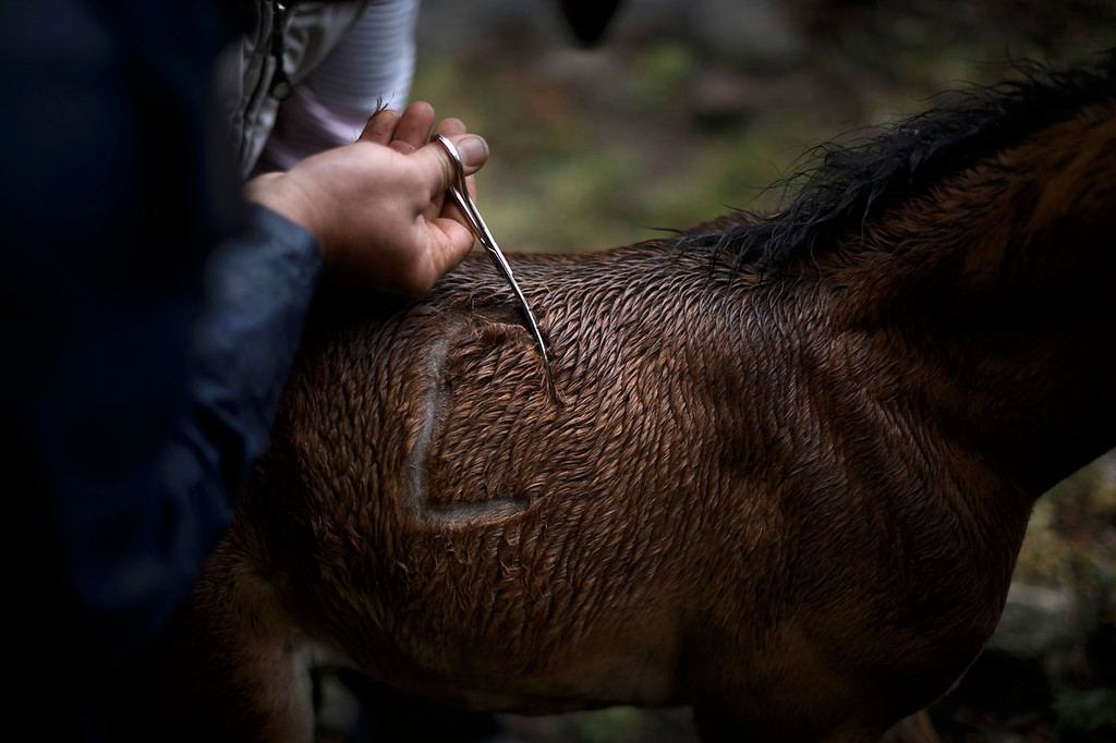 . Men mark a wild colt during the \'Rapa Das Bestas\' tradition in Mougas, northwestern Spain, Sunday, June 9, 2013. Rapa das bestas or Shearing of the Beasts is an ancient tradition dating from the 15th century and consists of gathering the wild horses in the mountains, placing them in a \'curro\' or corral, then shaving and branding them before releasing them in the mountains until next year. (AP Photo/Daniel Ochoa de Olza)