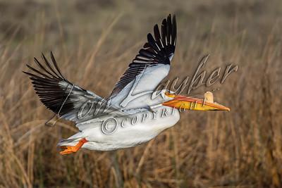 08551 Birds, pelicans