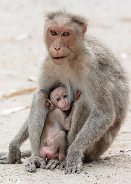 Bonnet Macaque at Chinnar Wildlife Refuge, Tamil Nadu, India (02-28-2015) 062-409-Edit.jpg