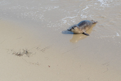 CA/Children's Pool Beach Seals - March, 2018