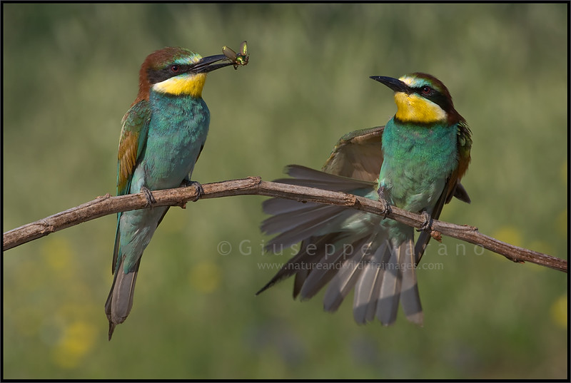 Giuseppe Varano - Nature and Wildlife Images - Birds and Nature Photography