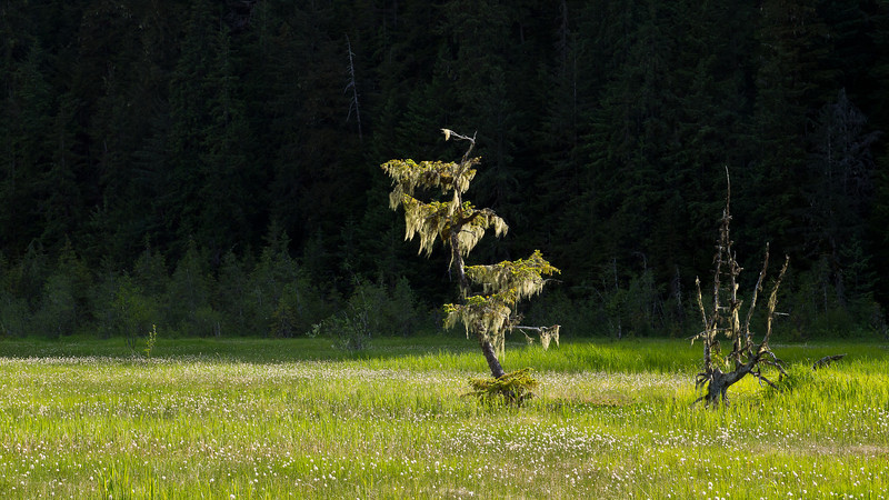 Two stunted pines in the muskeg are highlited against a shadowed mountain, near the Eagle River area. June 13, 2011.